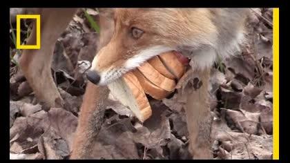 Fox Makes a Sandwitch