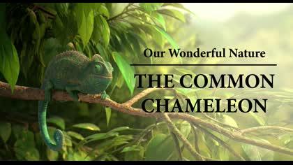 The Common Chameleon