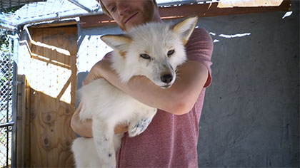 The world's first domesticated foxes